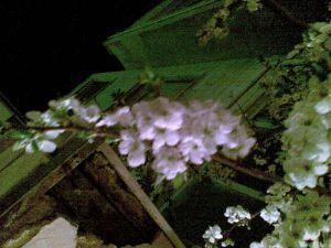 اولین شکوفه بهاری